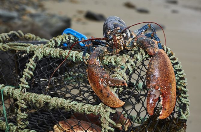 Lords Propose Ban on Boiling Lobsters Alive